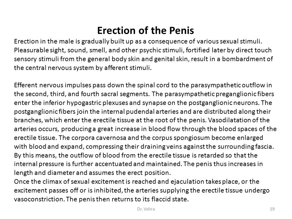 Erection of the Penis