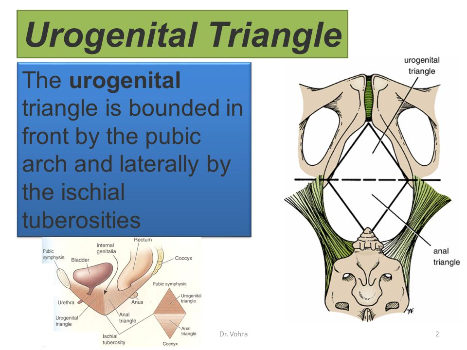 Urogenital Triangle The urogenital triangle is bounded in front by the pubic arch and laterally by the ischial tuberosities.