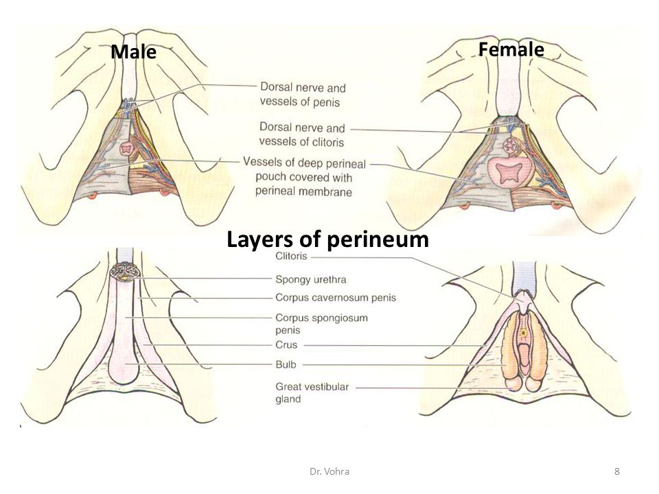 Male Female Layers of perineum Dr. Vohra