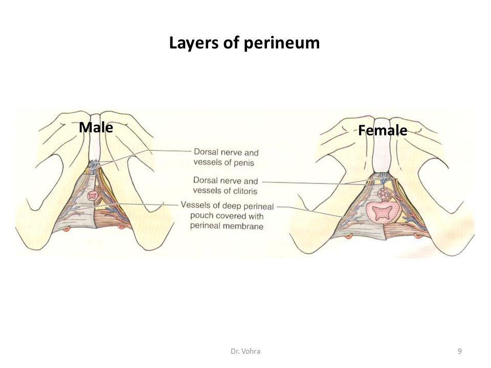 Layers of perineum Male Female Dr. Vohra