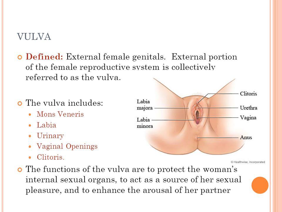 vulva definition