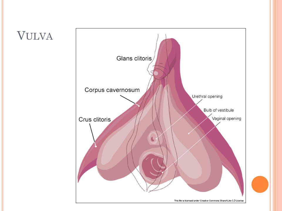 6 Vulva