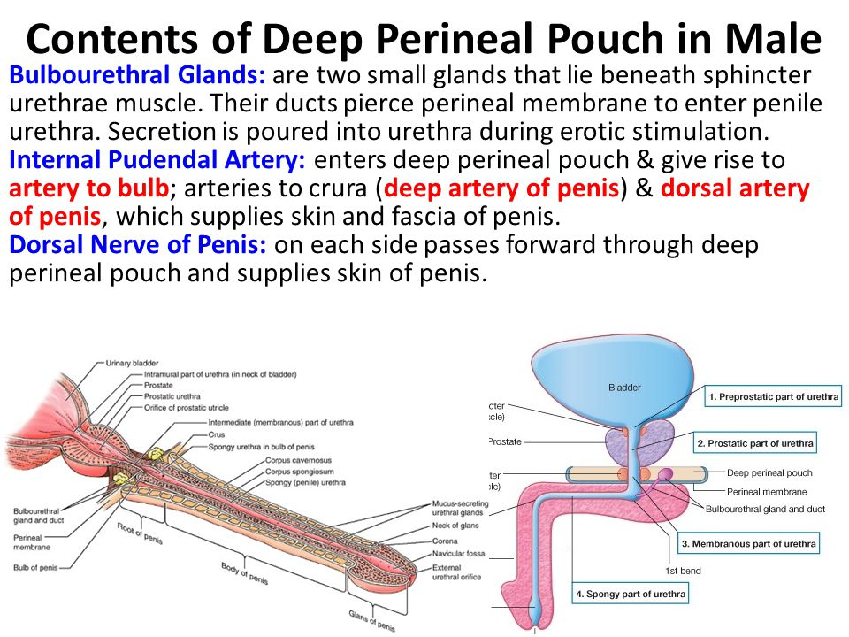 Contents of Deep Perineal Pouch in Male