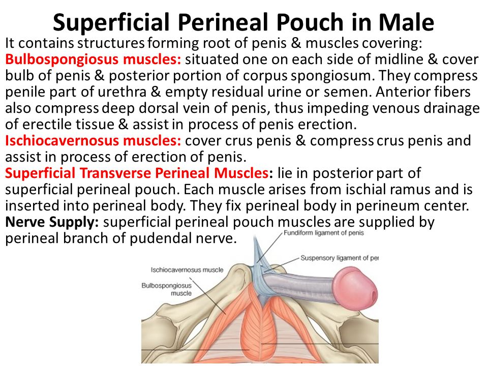 Superficial Perineal Pouch in Male