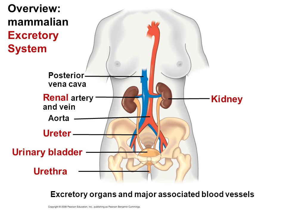 Diagram Of Excretory System In Mammals Diy Enthusiasts Wiring