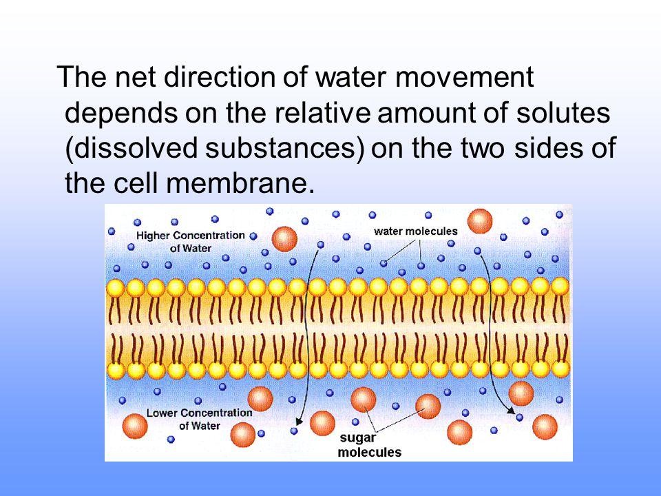 The net direction of water movement depends on the relative amount of solutes (dissolved substances) on the two sides of the cell membrane.