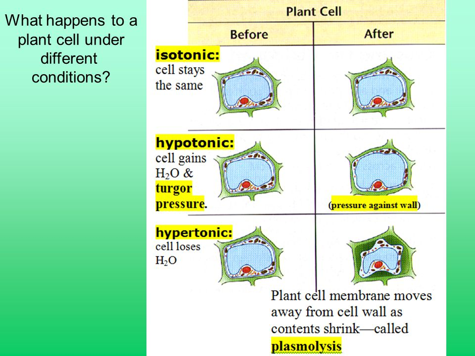 What happens to a plant cell under different conditions