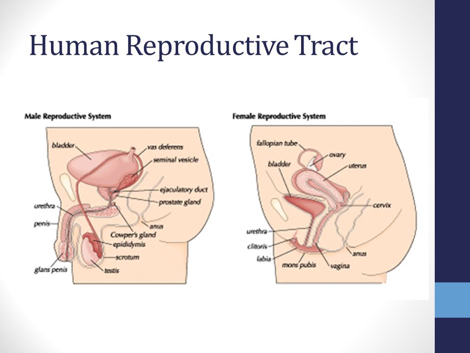 Animal Reproduction Ap Biology Chapters Ppt Video Online Download