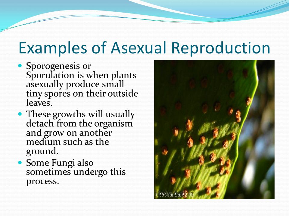 Sporogenesis asexual reproduction in plants