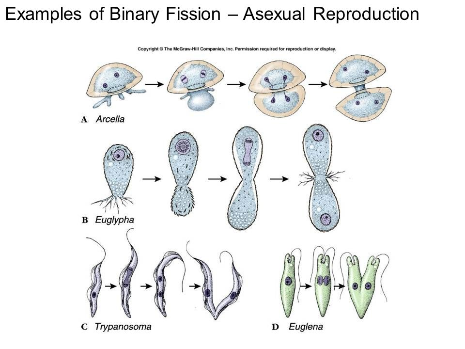 Asexual fission examples