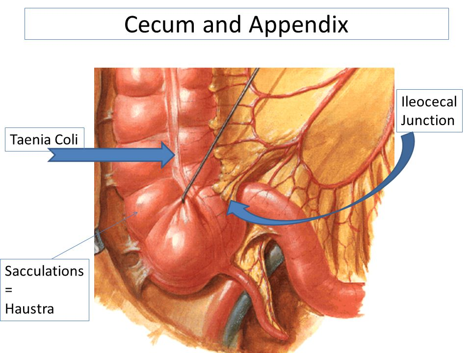 Cecum and Appendix Ileocecal Junction Taenia Coli Sacculations =