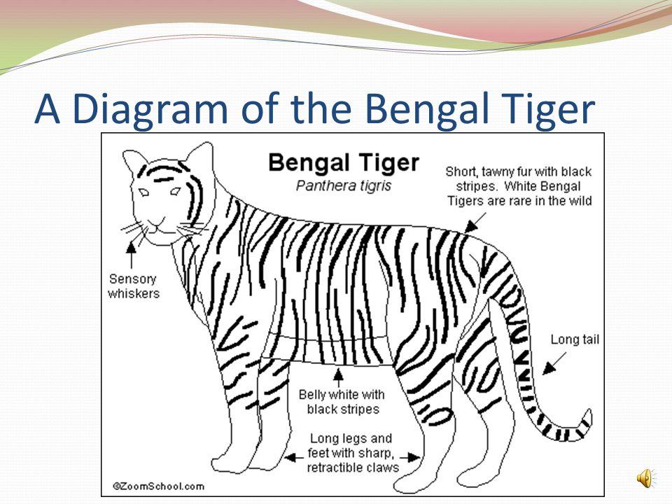 Diagram of a white bengal tiger wiring diagram services tiger dashaun warren b ppt download rh slideplayer com bengal tiger habitat bengal tiger teeth diagram ccuart Images