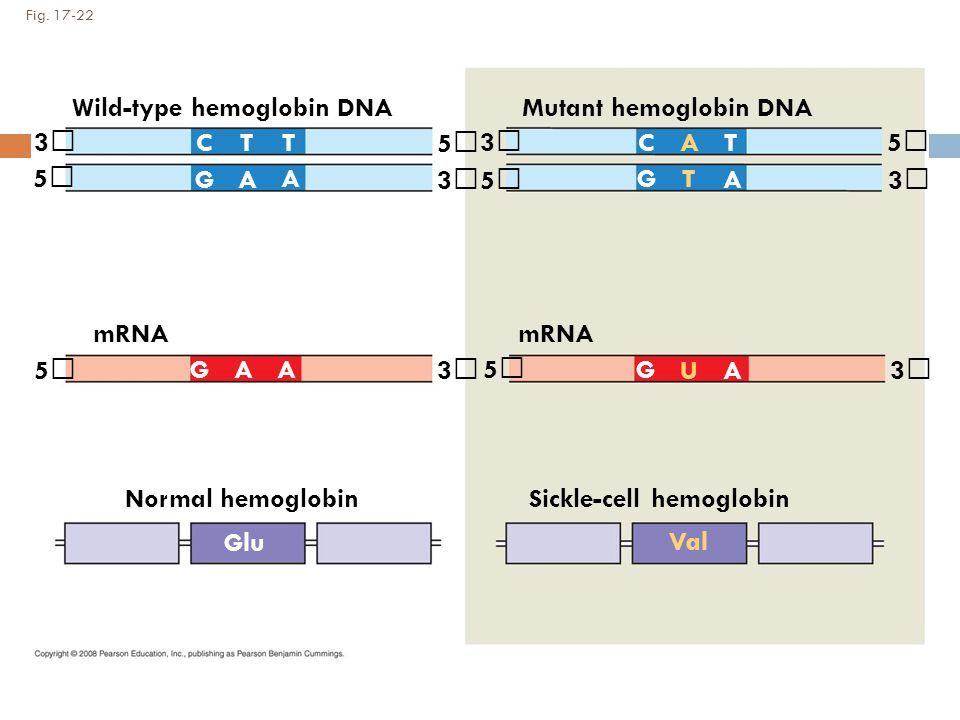 Wild-type hemoglobin DNA Mutant hemoglobin DNA 3 C T T 5 3 C A T 5