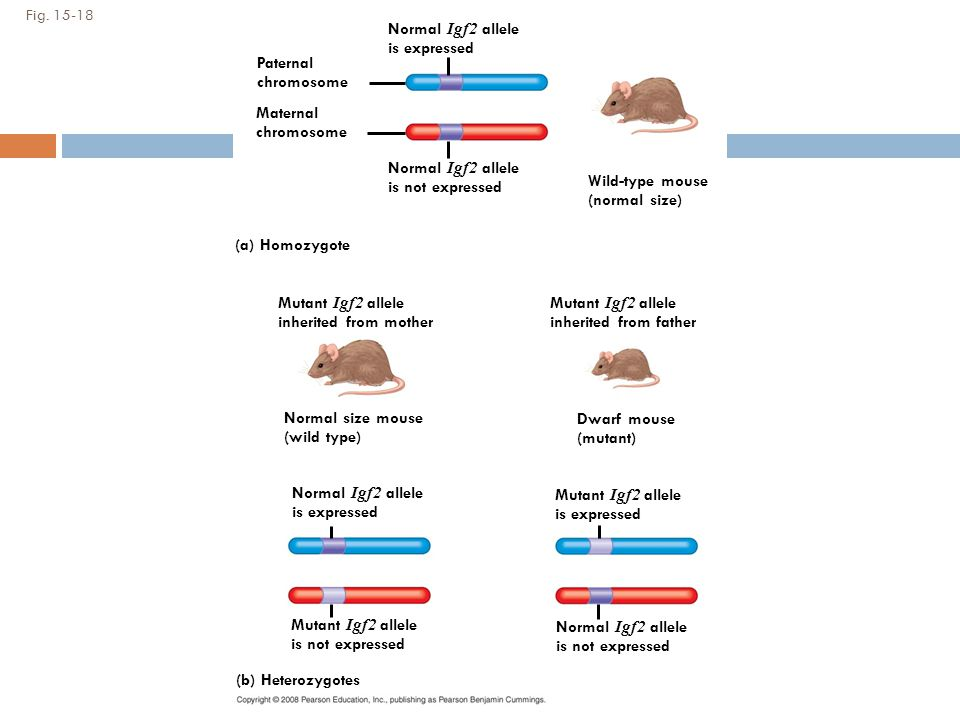 Normal Igf2 allele is expressed Paternal chromosome Maternal