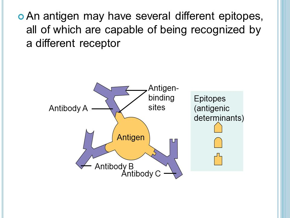 An antigen may have several different epitopes, all of which are capable of being recognized by a different receptor