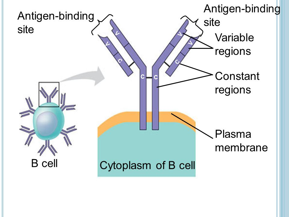 Antigen-binding site Antigen-binding site Variable regions Constant