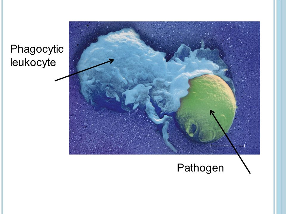 Phagocytic leukocyte Pathogen