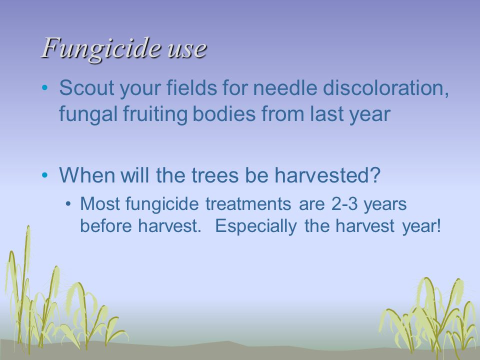 Fungicide use Scout your fields for needle discoloration, fungal fruiting bodies from last year. When will the trees be harvested