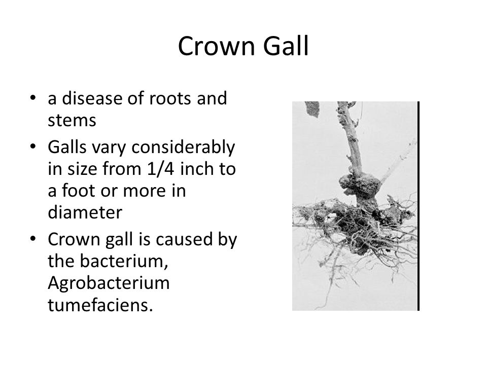 Crown Gall a disease of roots and stems