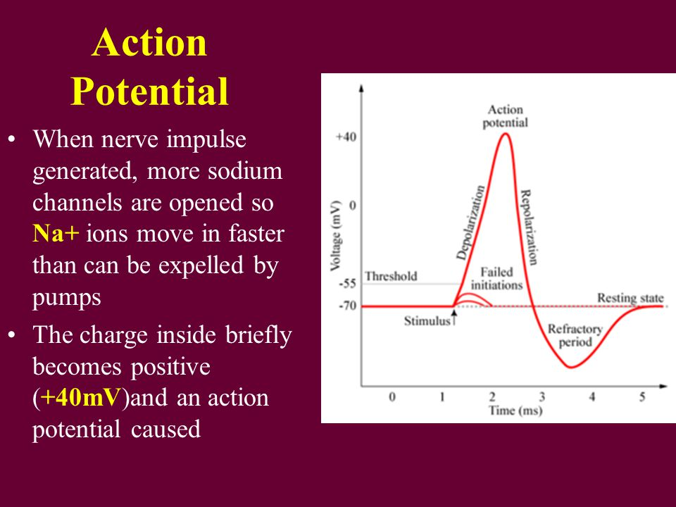 Action Potential When nerve impulse generated, more sodium channels are opened so Na+ ions move in faster than can be expelled by pumps.