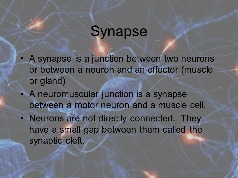 Synapse A synapse is a junction between two neurons or between a neuron and an effector (muscle or gland)