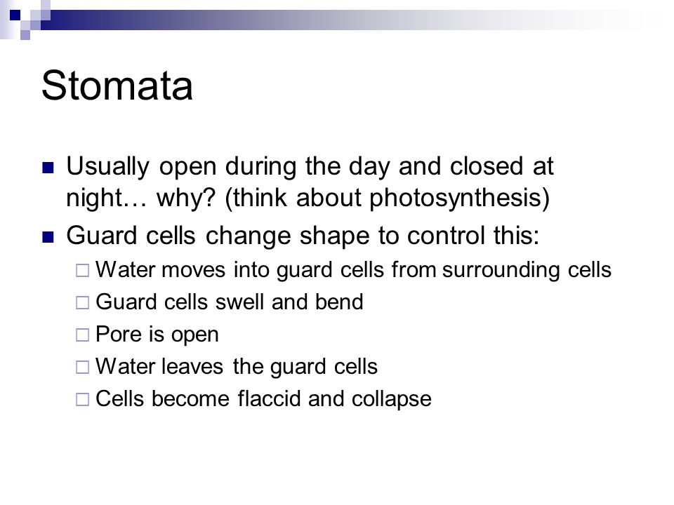 Stomata Usually open during the day and closed at night… why (think about photosynthesis) Guard cells change shape to control this: