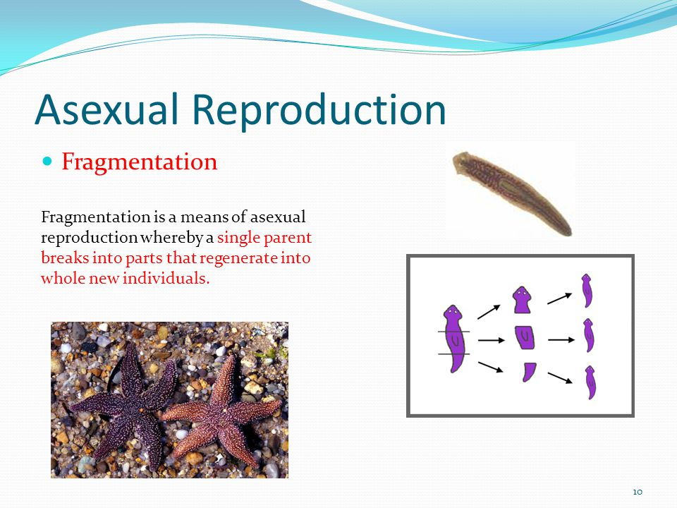 Fragmentation asexual reproduction definition