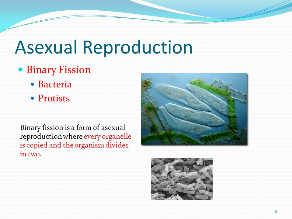 Asexual reproduction bacteria video download