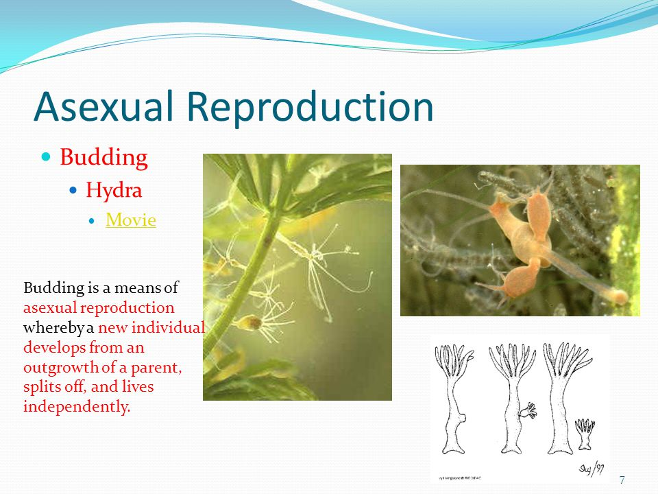 Asexual reproduction splitting budding