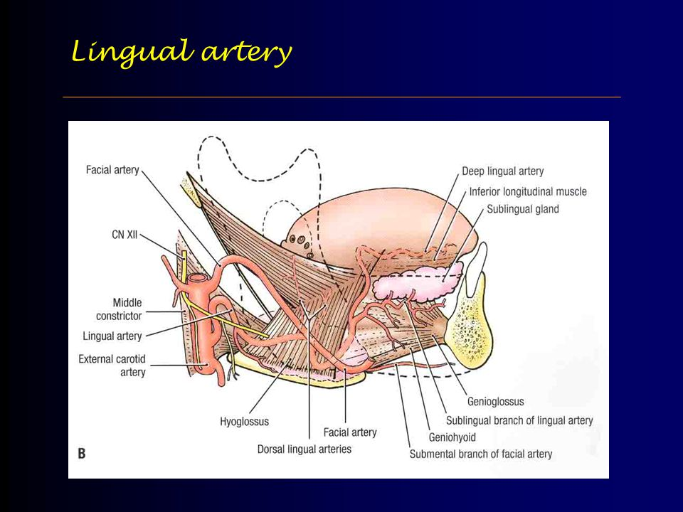 Luxury Lingual Artery Anatomy Adornment Anatomy And Physiology