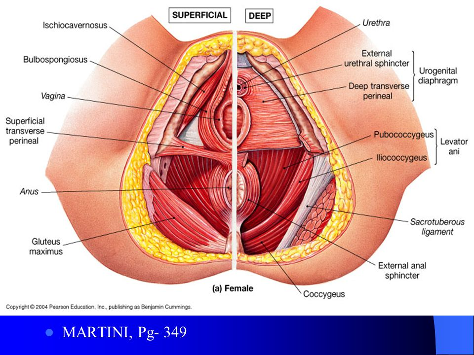 THE AXIAL MUSCLES MARTINI, ANATOMY AND PHYSIOLOGY 9TH EDITION ...