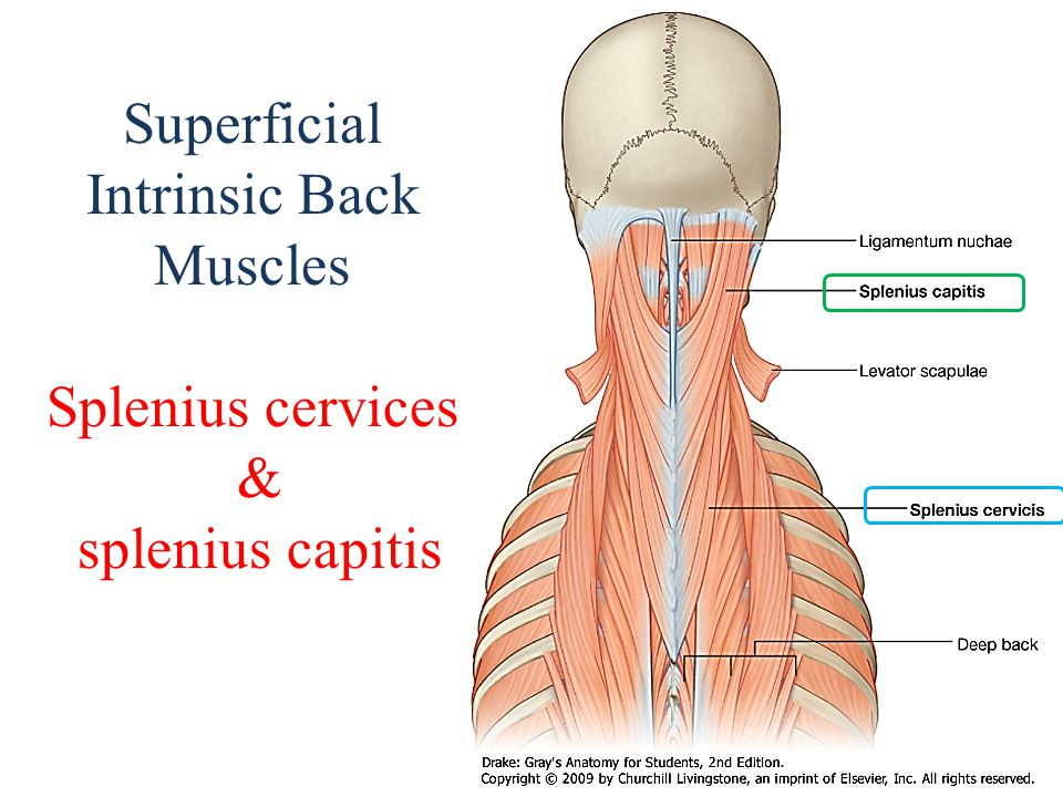 Muscles Of Back Drania Gabr Dma Delsherbiny Ppt Video