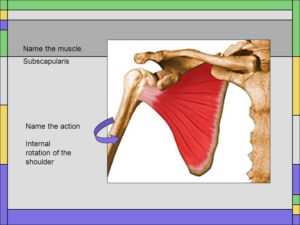 Name the muscle. Subscapularis Name the action Internal rotation of the shoulder