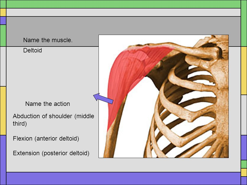 Name the muscle. Deltoid. Name the action. Abduction of shoulder (middle third) Flexion (anterior deltoid)