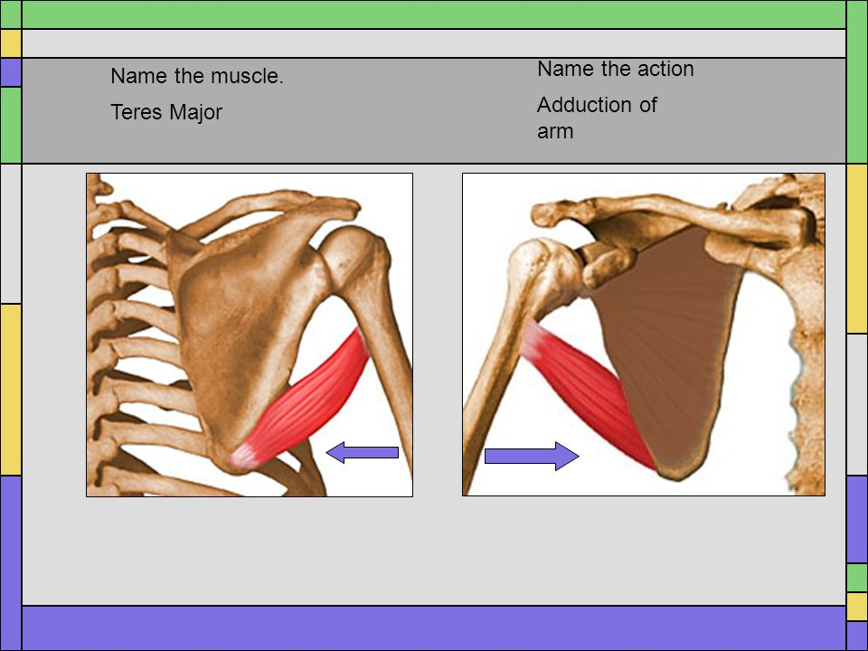 Name the action Name the muscle. Adduction of arm Teres Major