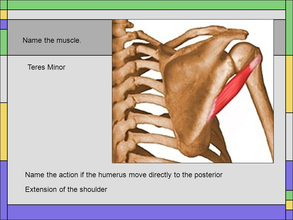 Name the muscle. Teres Minor. Name the action if the humerus move directly to the posterior.