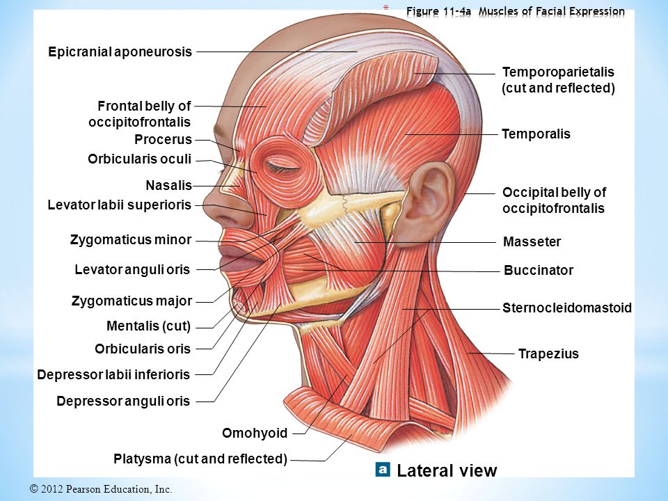 Head Neck And Face Muscles Ppt Video Online Download