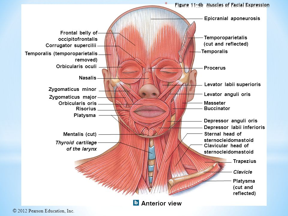 figure 11 4b muscles of facial expression