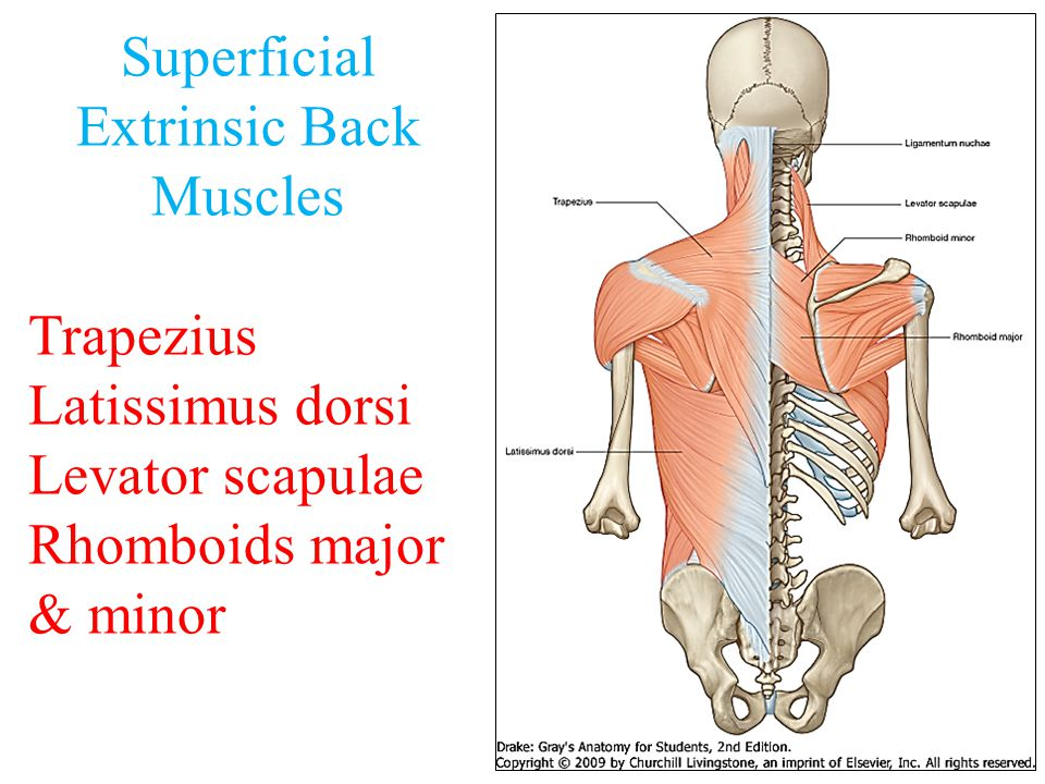 Muscles Of Back Dr Sama Ul Haque Dr Rania Gabr Ppt Video Online