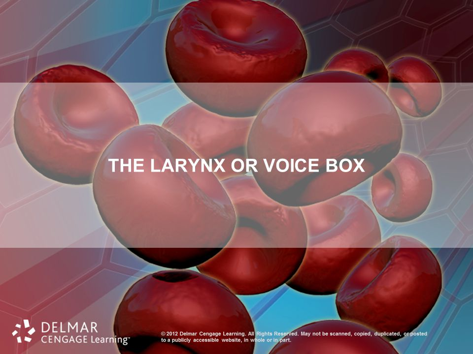 The Larynx or Voice Box