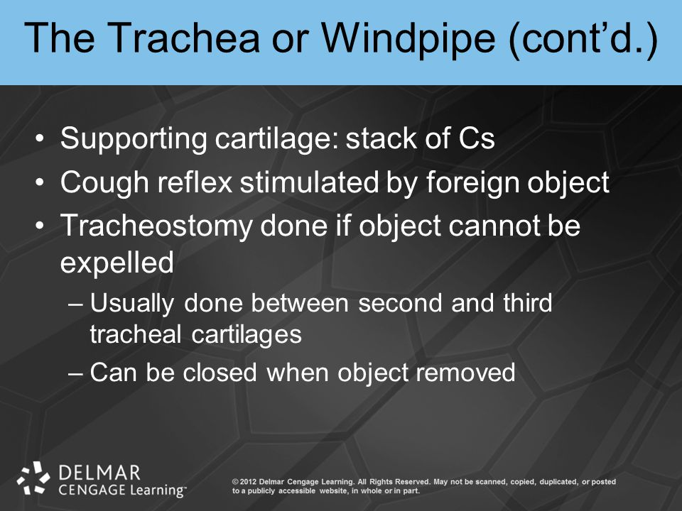 The Trachea or Windpipe (cont'd.)