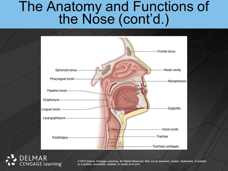 The Anatomy and Functions of the Nose (cont'd.)