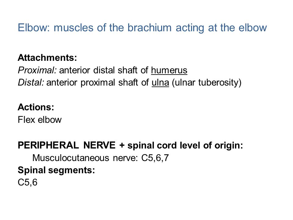 Elbow: muscles of the brachium acting at the elbow