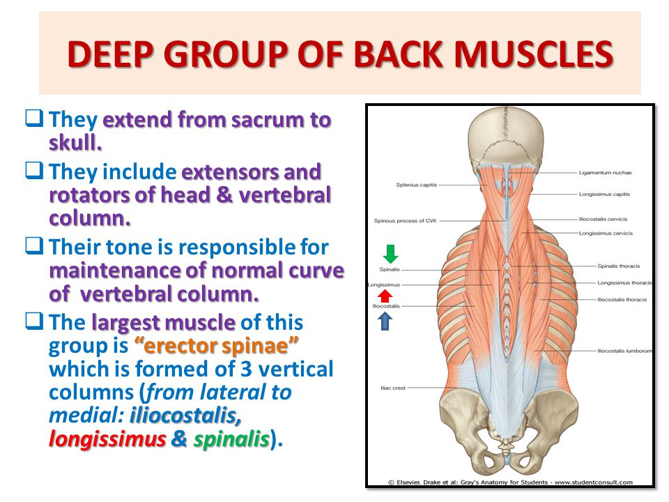 MUSCLES OF BACK Prof. Ahmed Fathalla Ibrahim Professor of Anatomy ...