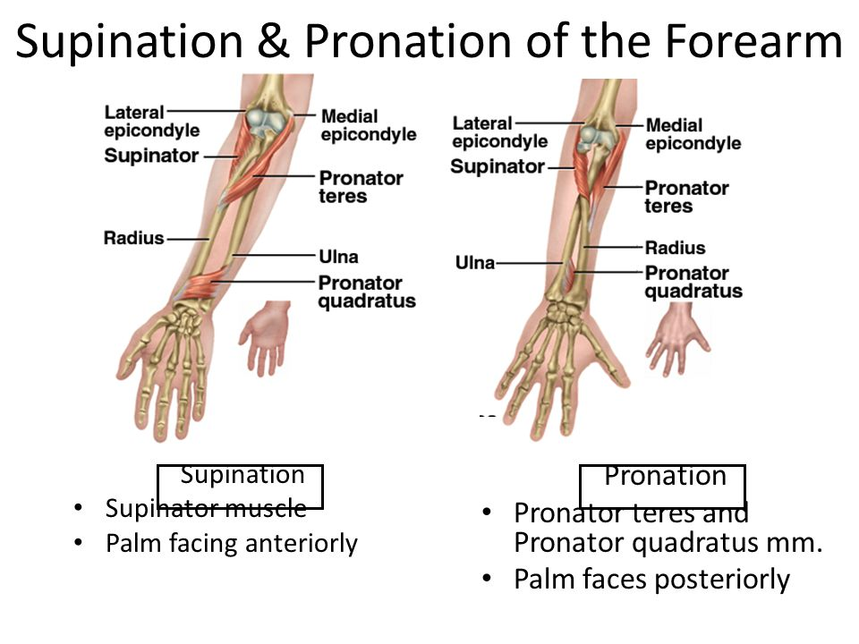 Supination & Pronation of the Forearm