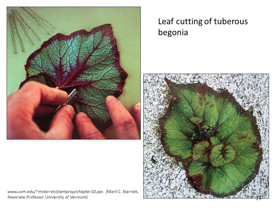 Leaf cutting asexual reproduction