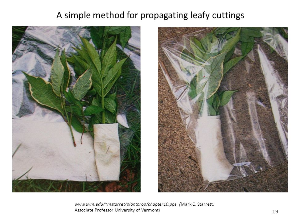 Anthurium vegetative propagation asexual reproduction