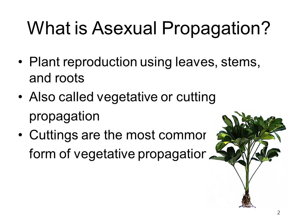 Asexual propagation cuttings