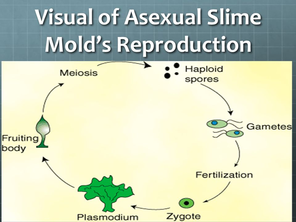 Do slime molds reproduce asexually