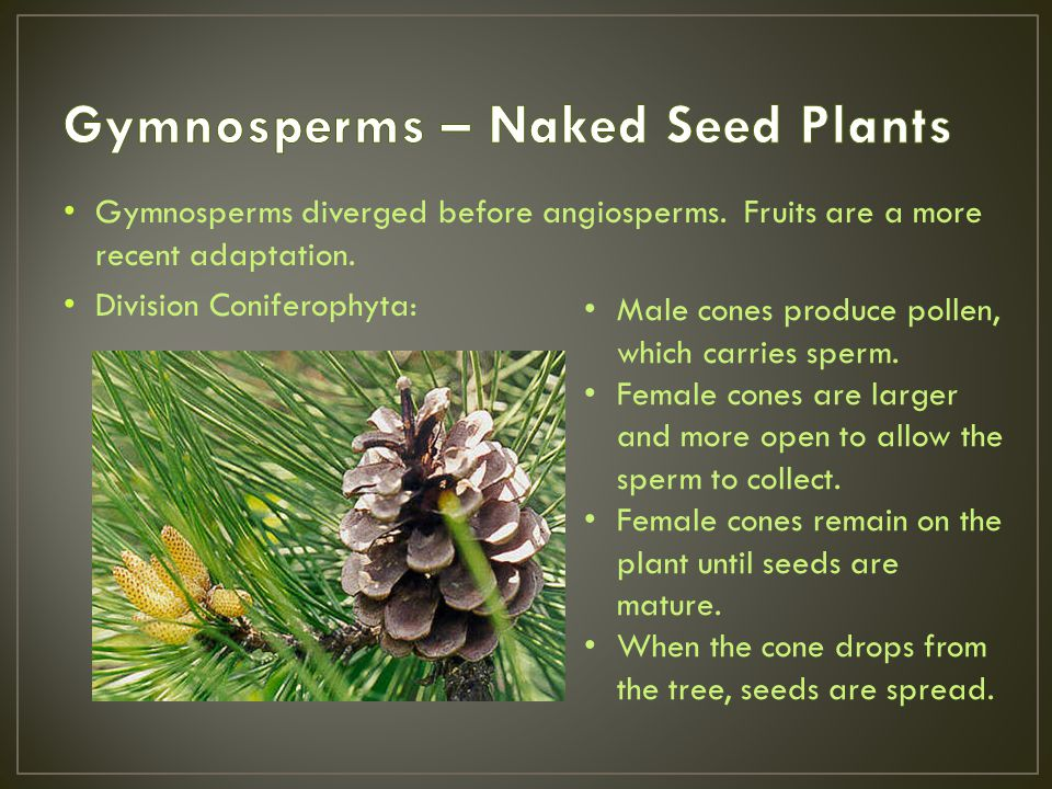 Gymnosperms – Naked Seed Plants